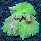 Cabbage Leather Coral Indonesia (click for more detail)