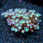 Glove Polyp Rock Indonesia (click for more detail)