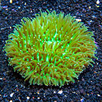 Long Tentacle Plate Coral Indonesia (click for more detail)