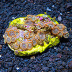 X Lunar Destroyer Colony Polyp Rock Zoanthus Indonesia IM (click for more detail)