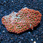 Aussie War Coral (click for more detail)