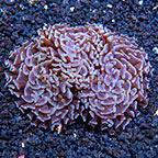 Aussie Gold Tip Hammer Coral (click for more detail)