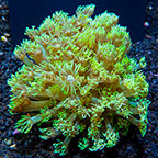 Flowerpot Coral Indonesia (click for more detail)