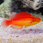 Flame Wrasse Terminal Phase Male [Blemish] (click for more detail)