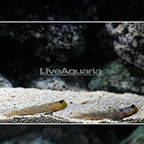 Lagoon Shrimp Goby (Bonded Pair) (click for more detail)