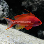 Lyretail Anthias Male (click for more detail)