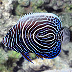 Emperor Angelfish Juvenile  (click for more detail)