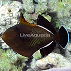 Indian Black Triggerfish  (click for more detail)