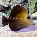 Scopas Tang [Blemish] (click for more detail)