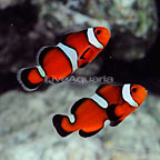 ORA® Captive-Bred Misbar Fancy Ocellaris Clownfish (Bonded Pair) (click for more detail)