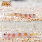 Flagtail Pink Bar Goby (Bonded Pair) with Red Banded Pistol Shrimp (click for more detail)