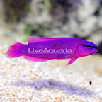 ORA® Captive-Bred Orchid Dottyback (click for more detail)