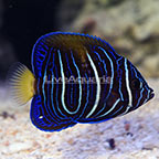 Bali Aquarich Captive-Bred Maculosus Angelfish Transitioning [Blemish] (click for more detail)