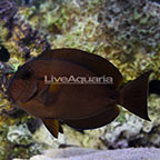 Maculiceps Tang [Blemish] (click for more detail)