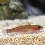 Japanese Yellow and Blue Banded Goby (click for more detail)