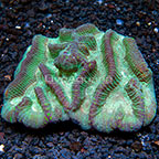 Aussie Oulophyllia Brain Coral  (click for more detail)