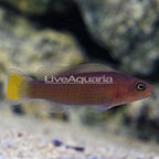 Orange Spotted Dottyback (click for more detail)