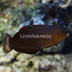 Dusky Margined Wrasse Initial Phase (click for more detail)