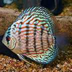 Red Turquoise Discus (click for more detail)