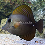 Black Longnose Hybrid Tang (click for more detail)