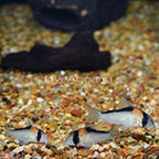 Adolfo's Cory Catfish (Group of 3) (click for more detail)