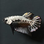 Black Samurai Betta, Male (click for more detail)