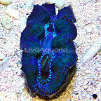 South Pacific Cultured Crocea Clam  (click for more detail)