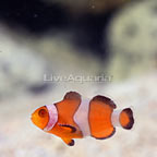 ORA® Captive-Bred Zombie Clownfish (click for more detail)