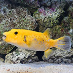 Arothron Golden Puffer (click for more detail)