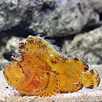 Yellow/Brown Leaf Fish (click for more detail)
