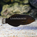 Dusky Margined Wrasse Initial Phase [Blemish] (click for more detail)