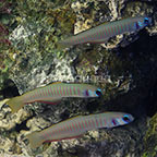 Zebra Barred Dartfish (Trio) (click for more detail)