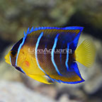 Caribbean Queen Angelfish Juvenile (click for more detail)