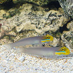 Sleeper Gold Head Goby (Bonded Pair) (click for more detail)