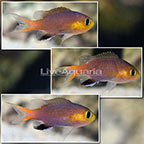 Acares Midget Reef Chromis (Trio) (click for more detail)