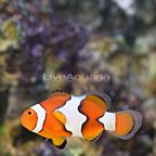 ORA® Captive-Bred True Percula Clownfish (click for more detail)