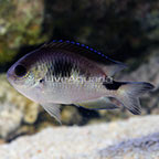 Corazon's Damselfish (click for more detail)