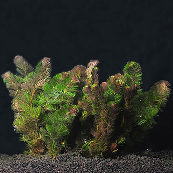 Submerged Plants