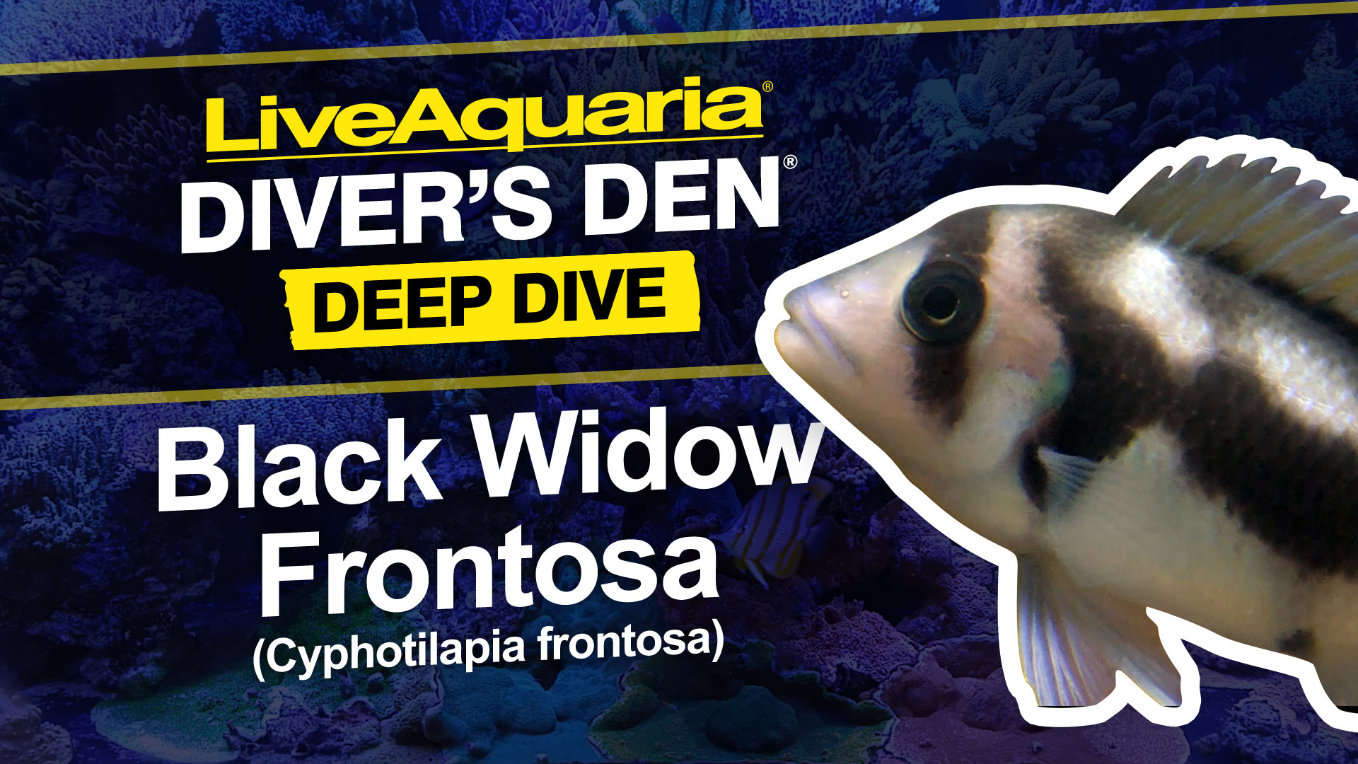 Black Widow Froontosa