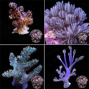 Coral Packs
