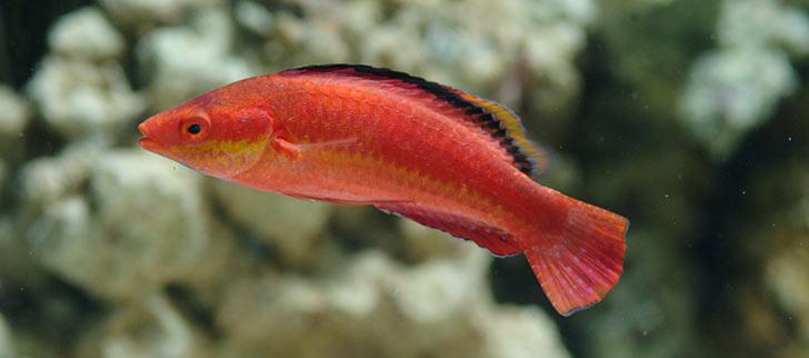 Articles About Aquarium Fish Species