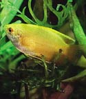 Yellow Honey Gourami