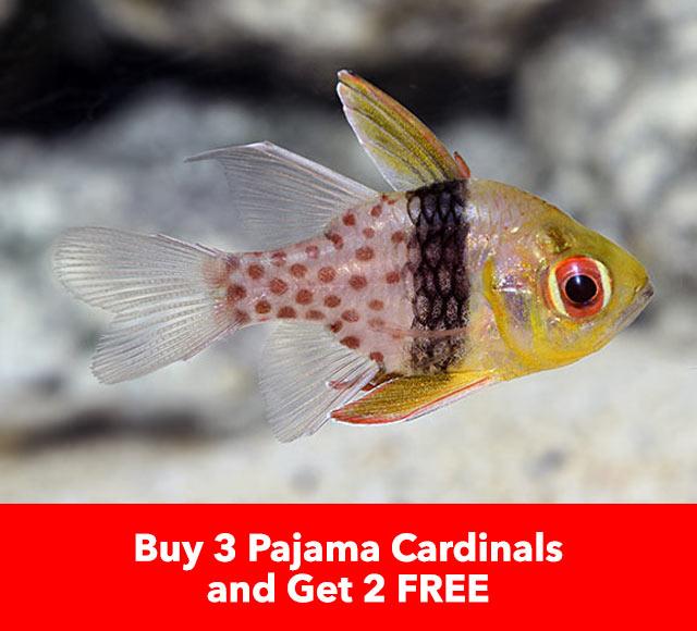 Buy 3 Get 2 Free Pajama Cardinals