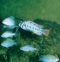 Common bacterial infections in fish part 1 for Fish bacterial infection
