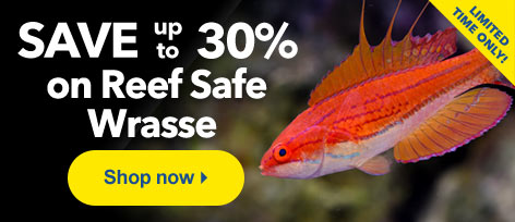 Save up to 30% on Reef Safe Wrasse