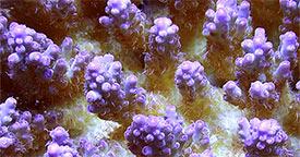 Corals for Reef Aquariums