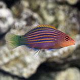 Reef Safe Wrasse