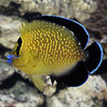 Large Marine Angelfish