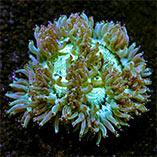 Diver's Den: LPS Corals