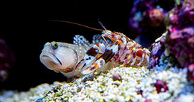 Pistol Shrimp & Gobies: A Safe Alliance